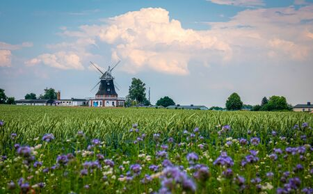 behind a green cornfield is an old windmill and the sky is blue with white clouds