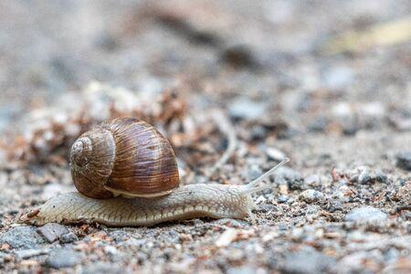 a Roman snail crawls slowly over a sandy path Stock Photo