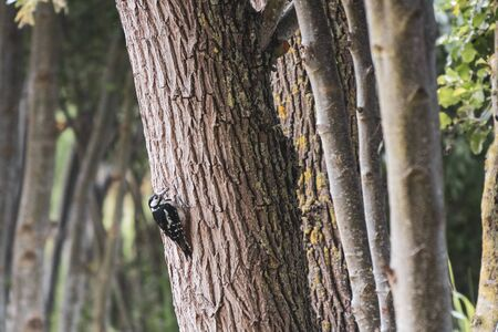 a spotted woodpecker hangs from a tree trunk and looks into the camera