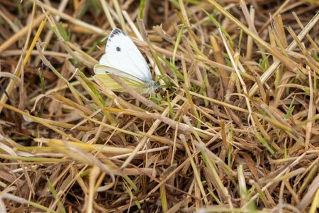 a large cabbage white sitting on a mown meadow