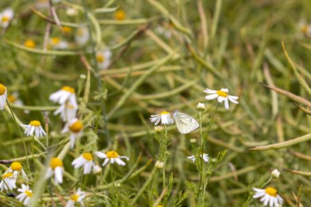 a large cabbage white butterfly sits on a camomile flower