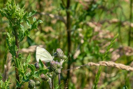 on a wildflower meadow there is a cabbage white on the flowers Stock Photo