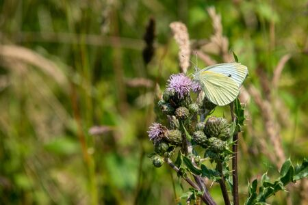 on a wildflower meadow there is a cabbage white on the flowers Banque d'images