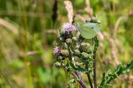 on a wildflower meadow there is a cabbage white on the flowers Standard-Bild