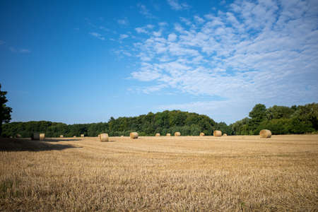 on a mown grain field lie round pressed bales of straw and the sky is blue