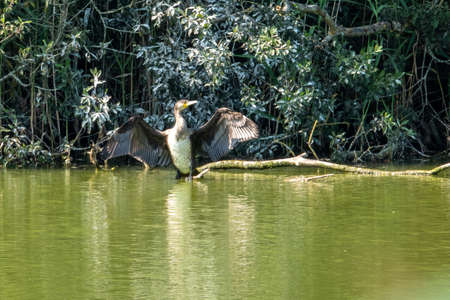 a cormorant stands in the water and spreads its wings