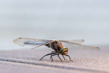 a blue flat-bellied dragonfly stands on a wooden floor