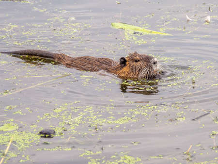 a nutria swims through a lake in search of food