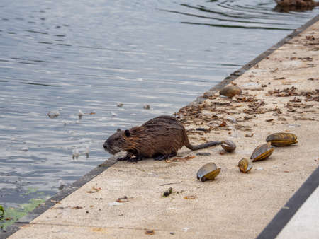 a nutria collects mussels in a lake to open them on the shore