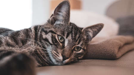 a gray European house cat lies tired on a leather couch and looks into the camera