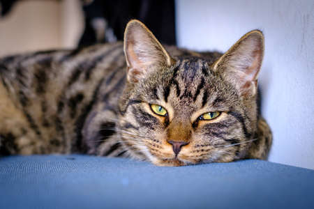 a gray house cat lies lazy and tired on a blue surface Standard-Bild