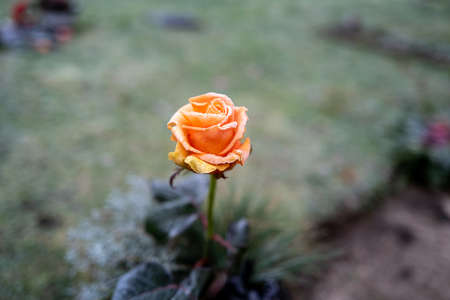 an orange rose flower is covered with ice crystals in winter