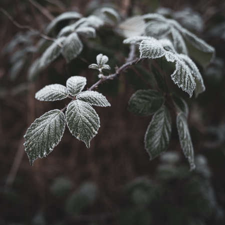 Leaves are covered with ice crystals due to frost in the winter