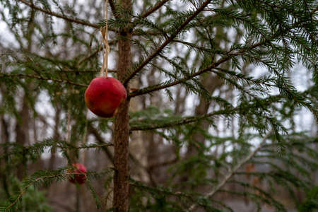 Apples hang on a conifer tree at Christmas as food for birds Reklamní fotografie