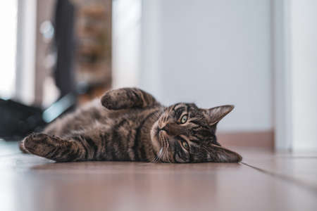a gray tabby domestic cat is lying relaxed with his back on the floor and looking at the camera