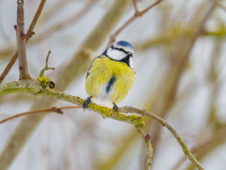 a blue tit sits on a branch in winter and looks at the camera