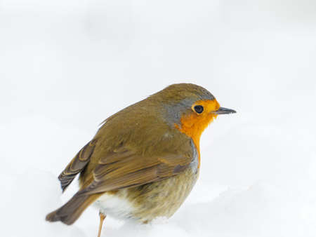 a robin stands in the snow in winter and looks at the camera