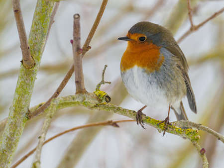 a robin sits on a branch in winter and looks at the camera