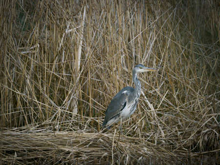 a gray heron stands in the reeds on the shore of a lake