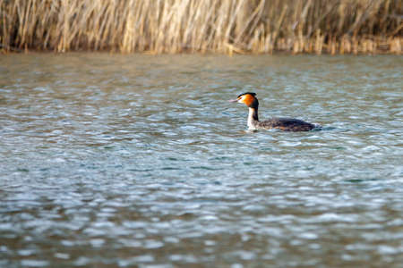 on a small lake swims a great crested grebe Standard-Bild