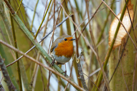 a close up of a robin looking at the camera and standing on a branch Standard-Bild