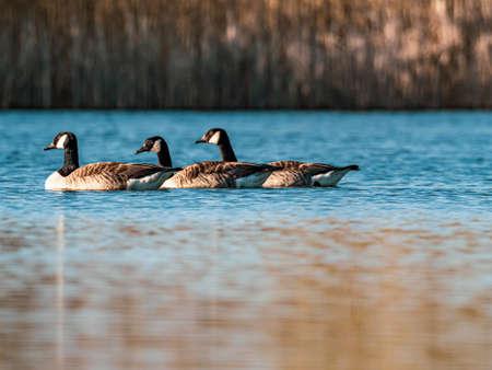 on the blue water of a lake swim a few wild geese Standard-Bild