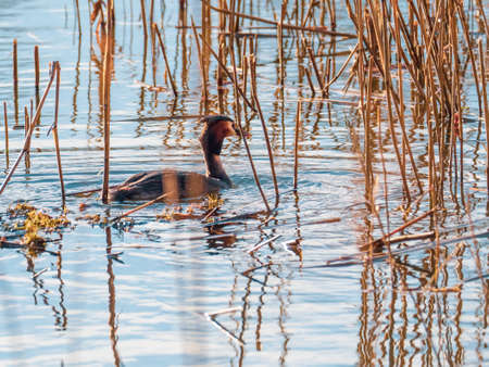 a grebe swims on the blue water of a lake