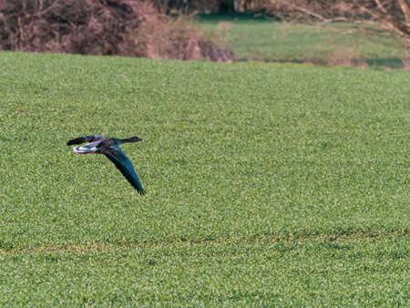 a greylag goose flies close over a field Standard-Bild