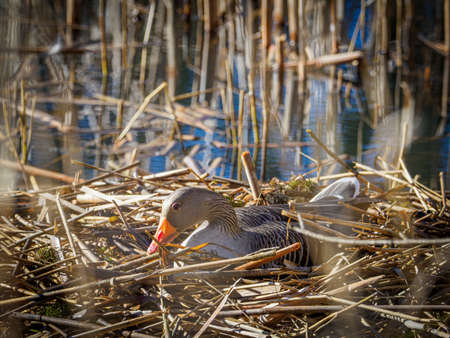 a greylag goose hatches its eggs in a nest