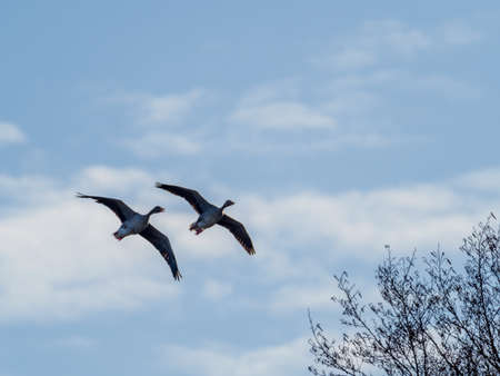 two gray geese flying in blue sky