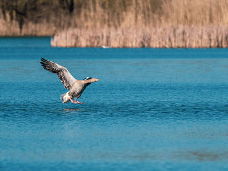 two gray geese land on the blue water of a lake Standard-Bild