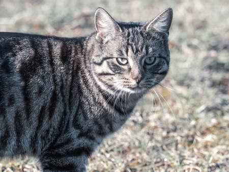 a gray tabby european domestic cat looks at the camera