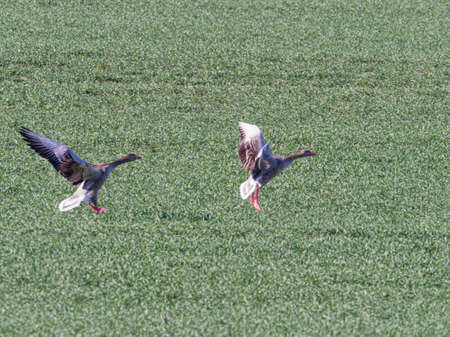 two gray geese land on green meadow