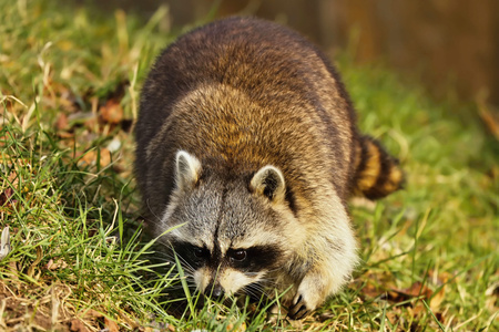 Racoon on the meadow