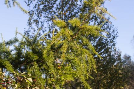 European larch (Larix decidua) branch with needle. Imagens