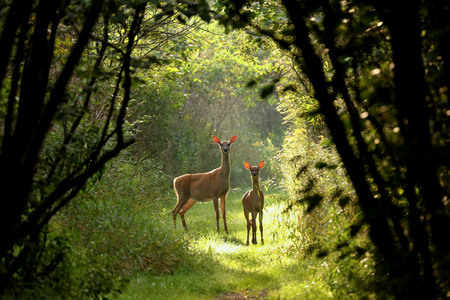 White tailed deer ,fawn with hind in natural trail