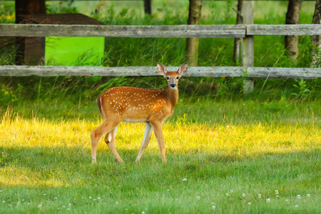 White tailed deer, fawn on the natural and conservation area Stock Photo