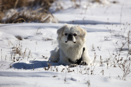 White puppy pekignese on the snow 写真素材