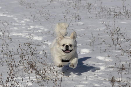 Small white pekinese at play on the snow
