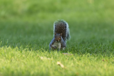 Eastern gray squirrel on the park meadow