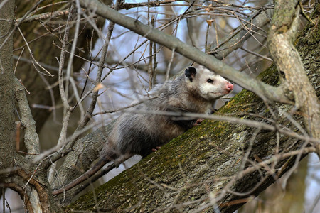The Virginia Opossum (Didelphis virginiana) on the tree. Wildlife area in Wisconsin.