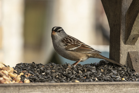 White - crowned Sparrow (Zonotrichia leucophrys) on the feeder