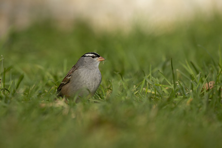 White - crowned Sparrow (Zonotrichia leucophrys) on the grass.Wisconsin natural and conservation area