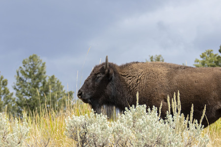 American buffalo (Bison bison) is a North American species of bison that was in huge herds was  in North America. 版權商用圖片
