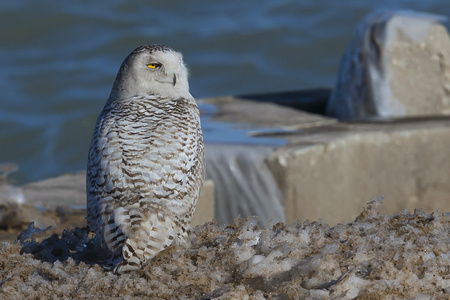 The snowy owl (Bubo scandiacus) on the shore of the lake Michigan.Every winter these owls migrate from the Arctic regions to Wisconsin and surrounding states.
