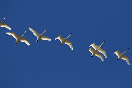 Migrating flock of tundra swans flying to north