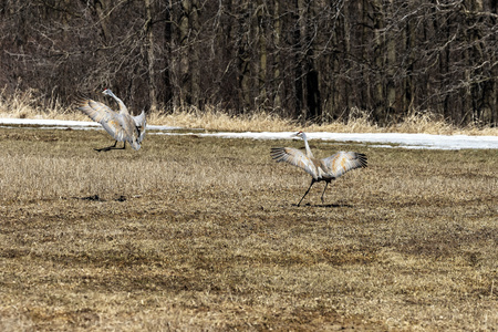 Sandhill crane (Antigone canadensis)  returned to their nesting areas after winter. Foto de archivo - 120558008