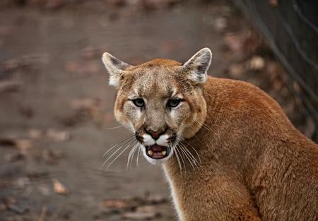 Puma (Puma concolor), powszechnie znana również pod innymi nazwami, takimi jak catamount, lew górski, pantera i puma, jest rodzimym zwierzęciem amerykańskim. Zdjęcie zrobione w ZOO. Zdjęcie Seryjne
