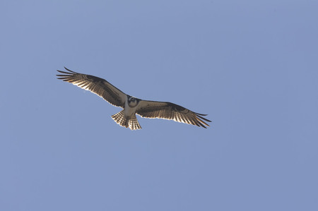 Western osprey (Pandion haliaetus) in flight.Bird of prey also called sea hawk, river hawk, and fish hawk