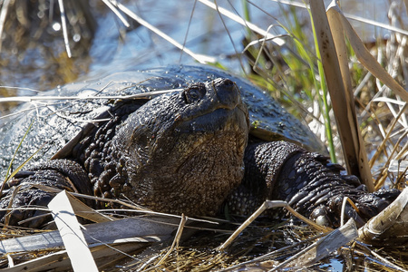 Old Common snapping turtle (Chelydra serpentina) in the conservation wildlife area in Wisconsin. Imagens - 121649365